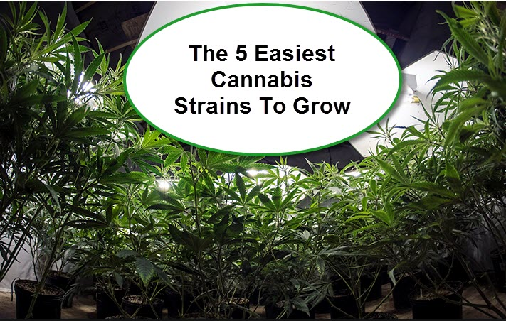 The 5 Easiest Cannabis Strains To Grow