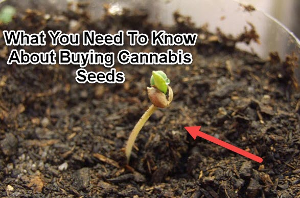 HOW DO YOU BUY MARIJUANA SEEDS CANNABIS SEEDS