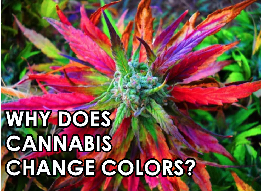 Why Cannabis Comes In Different Colors