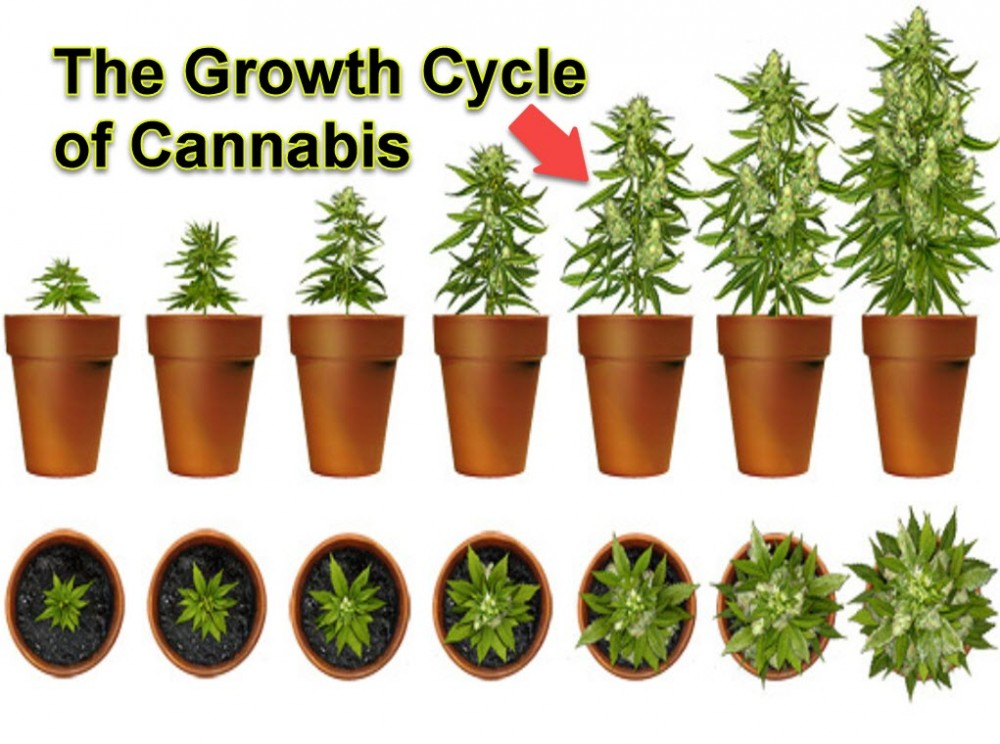 CANNABIS GROW CYCLE