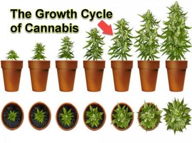 MARIJUANA GROWTH CYCLE