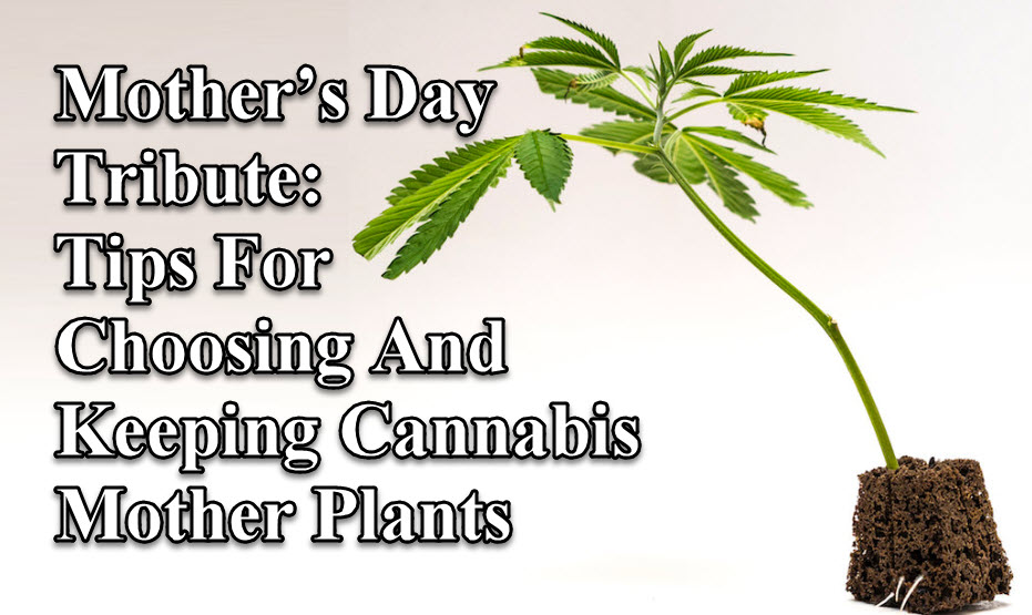 CANNABIS MOTHER PLANTS