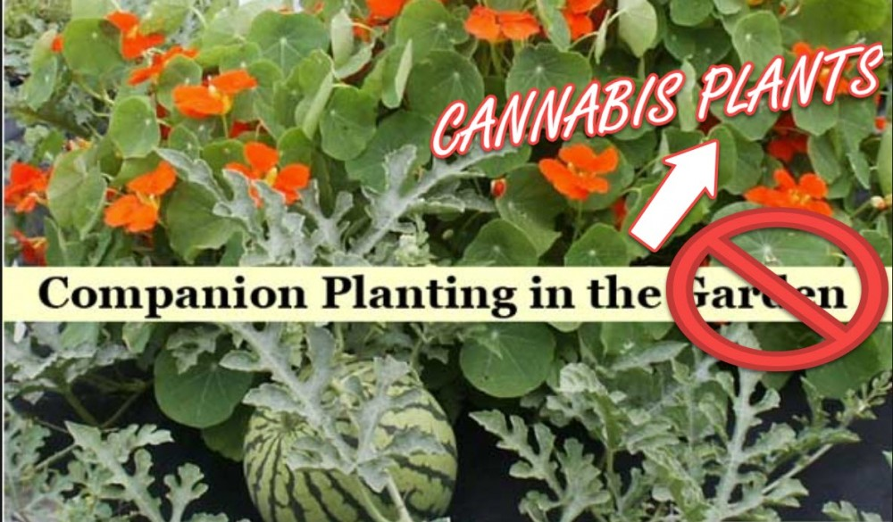 CANNABIS COMPANION PLANTS
