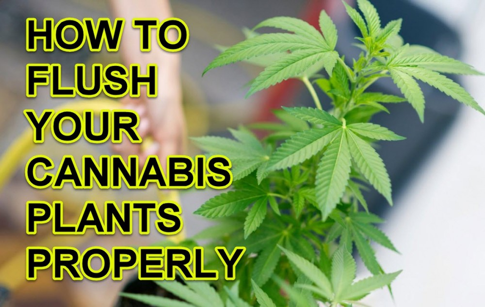 FLUSHING YOUR CANNABIS PLANTS