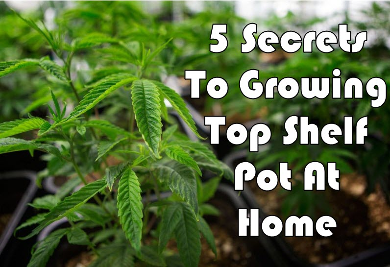 SECRETS TO GROWING CANNABIS AT HOME