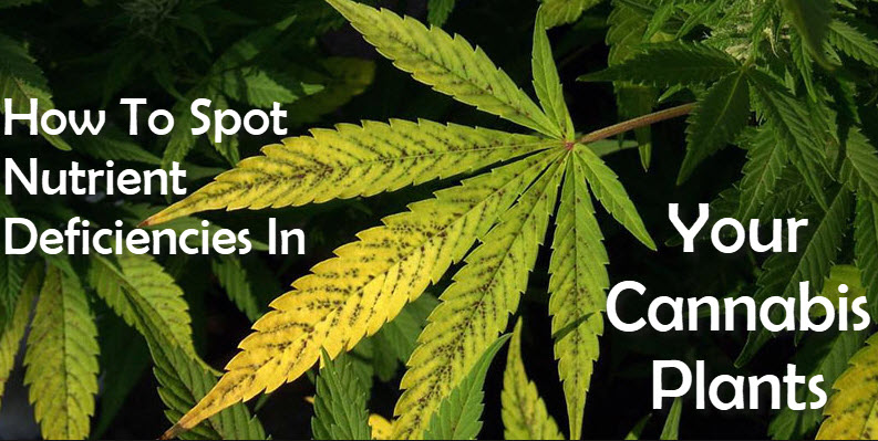 NUTRIENTS FOR GROWING CANNABIS PLANTS