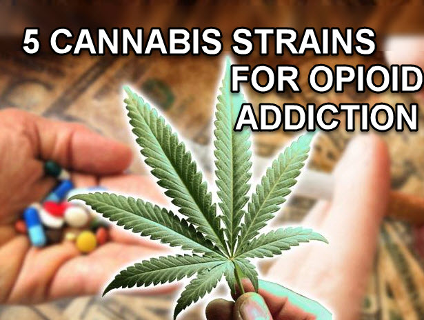 CANNABIS STRAINS FOR OPIATE ADDICTION