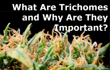 what are marijuana trichomes