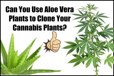 HOW TO USE ALOE TO CLONE YOUR CANNABIS PLANTS