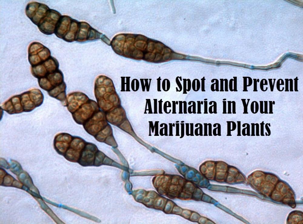 cannabis alternaria