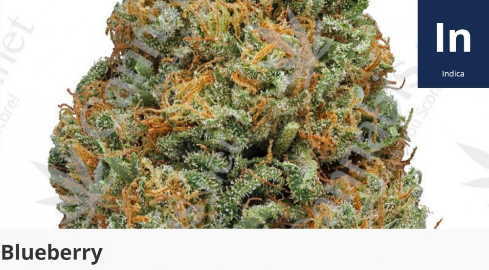 blueberry kush strain