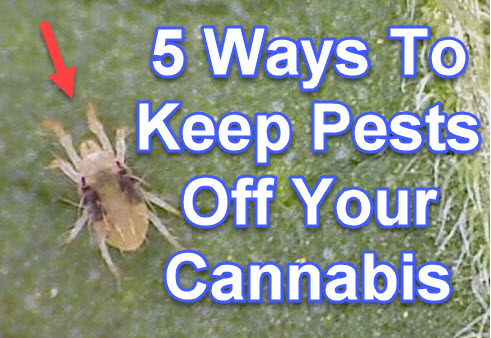 cananbisbugs - Teaming Up with Predatory Pests to Grow Killer Cannabis Buds