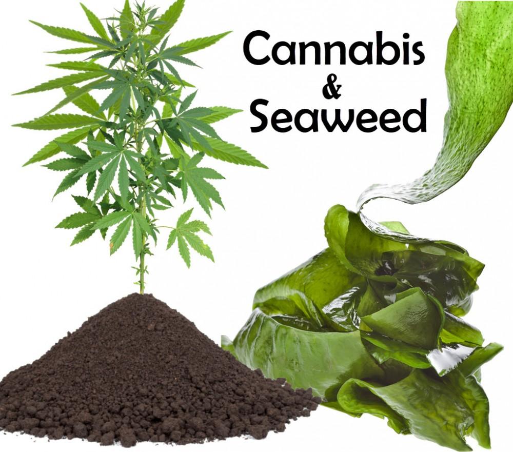 SEAWEED TO GROW CANNABIS