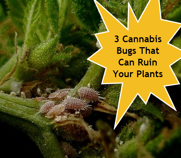 BUGS IN YOUR MARIJUANA PLANTS