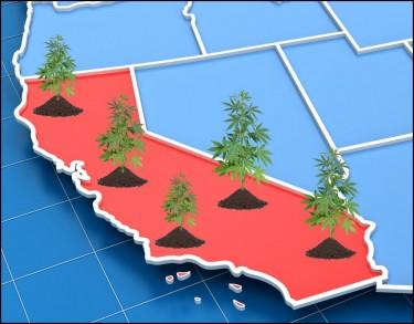 cannabisgewassen in Californië