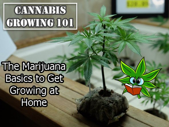 GROWING CANNABIS AT HOME 101