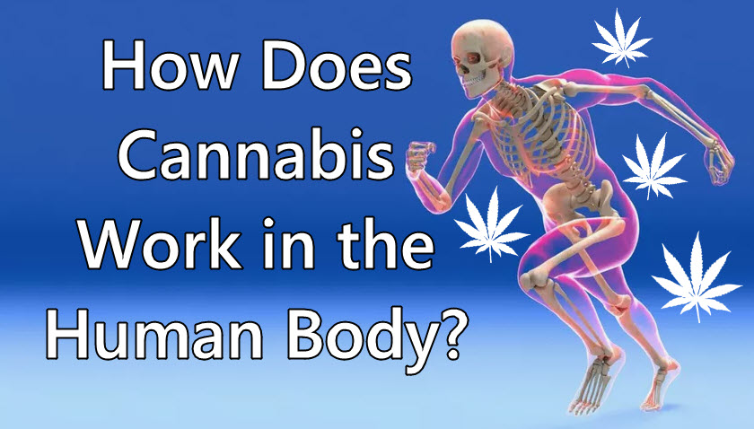 cannabis for the human body