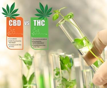 cannabis plant testing for cbd or thc