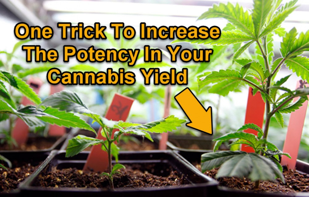 HOW TO INCREASE THE POTENCY OF CANNABIS
