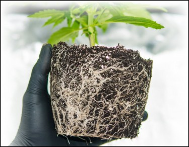 cannabis root agents