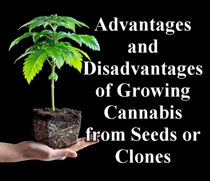 cannabis seeds or clones