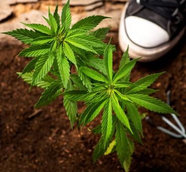 Voorbereiding van cannabisgrond