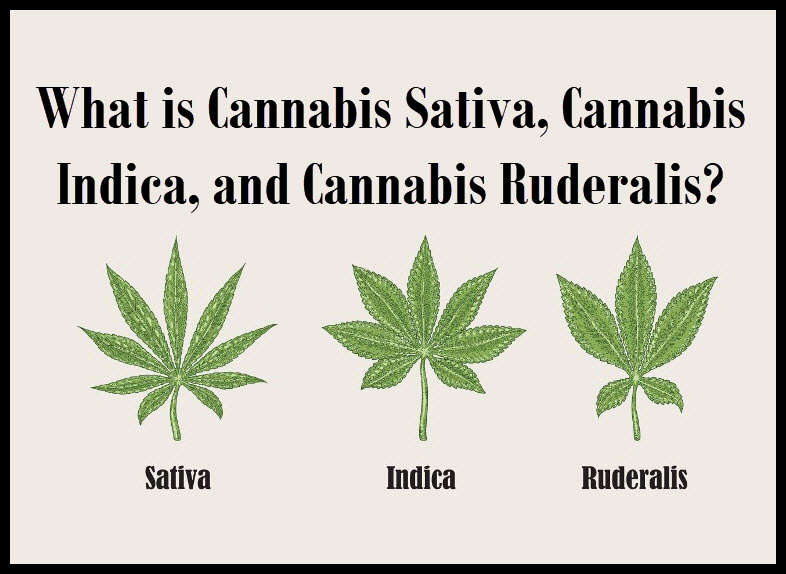 What is Cannabis Sativa, Cannabis Indica, and Cannabis Ruderalis?