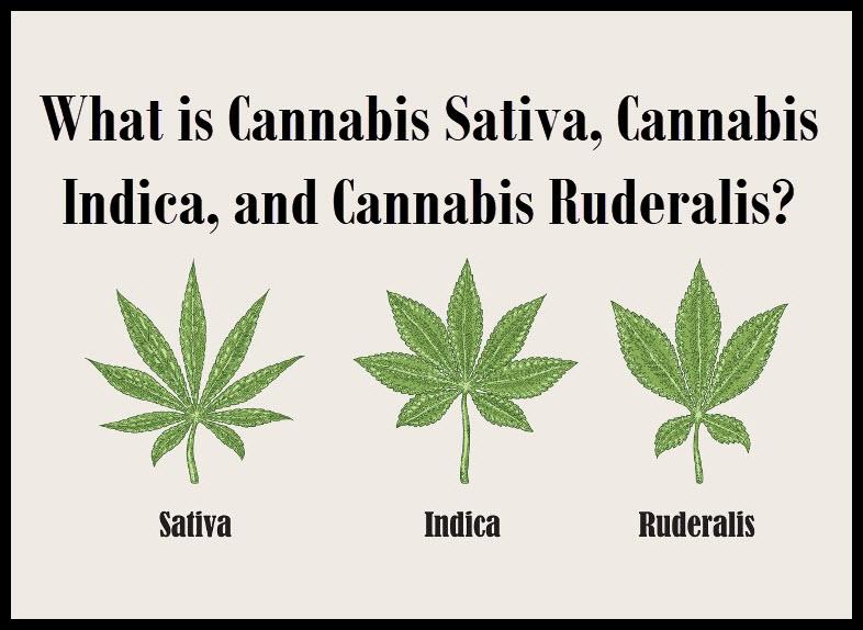 What is Cannabis Sativa, Cannabis Indica, and Cannabis Ruderalis?