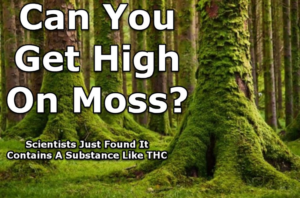 can you get high on moss