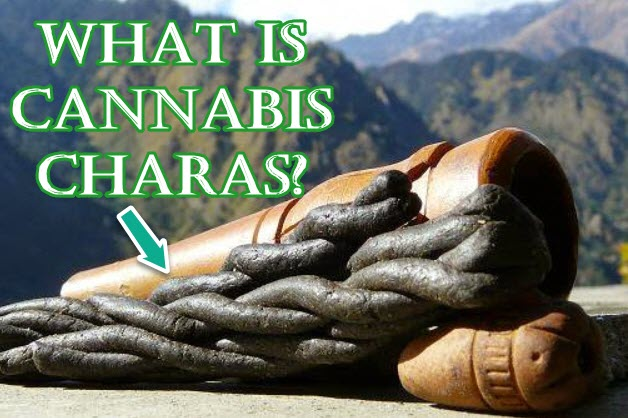 cannabis charas