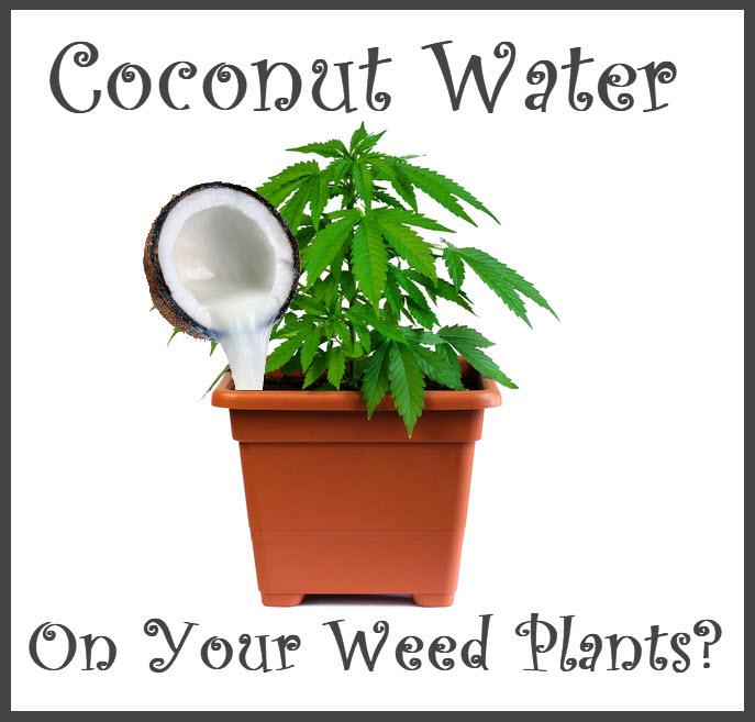 coconutwateronyourmarijuanaplant - Should You Fertilize Your Cannabis Plants with Coconut Water?