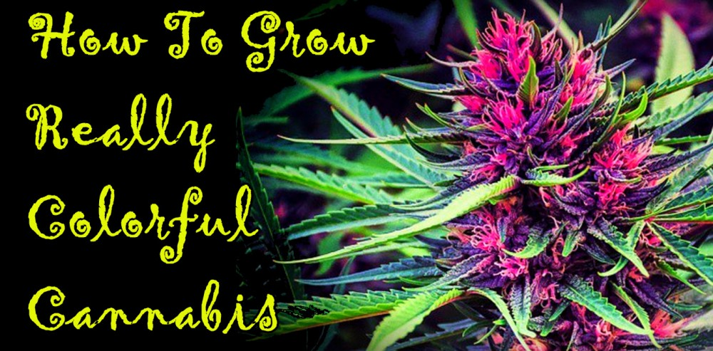 HOW TO GROW COLORFUL CANNABIS PLANTS