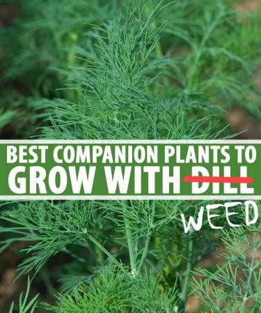 companion plants for outdoor cannabis grows