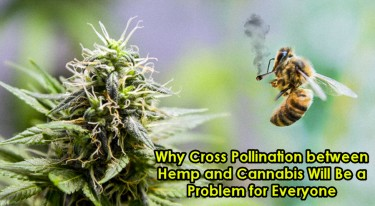 CROSS POLLINATION BETWEEN HEMP AND CANNABIS