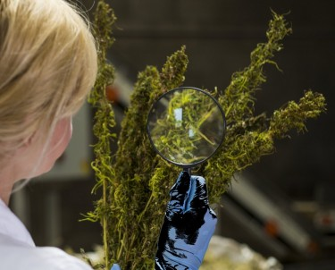 dea allows for growing marijuana research
