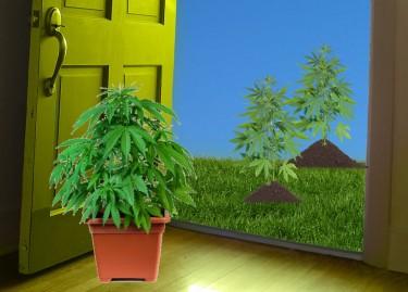 indoor or outdoor grown weed