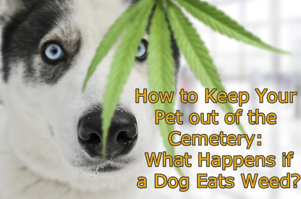 What Should You Do if Your Dog Gets High on Pot?