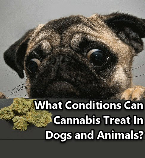 WHAT CONDITIONS IS CANNABIS GOOD FOR IN PETS