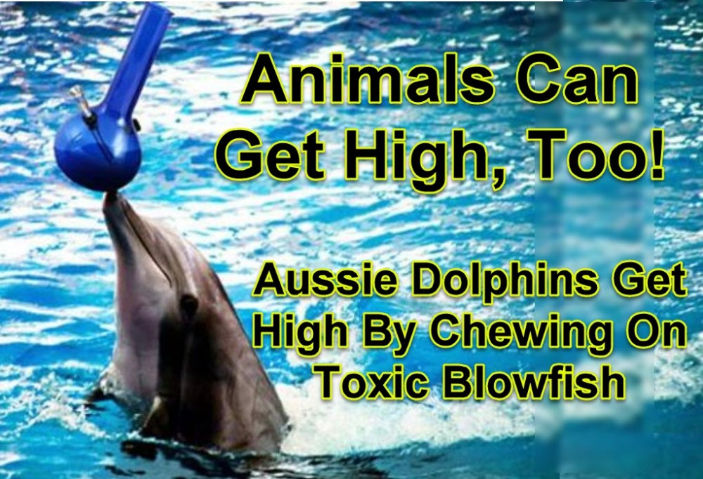 DOLPHINS AND CANNABIS