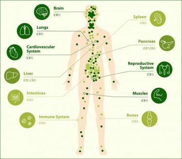 endocannabinoid system deficient