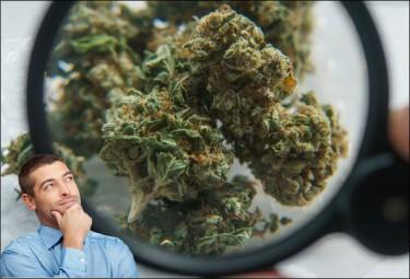 euphoria marijuana strain