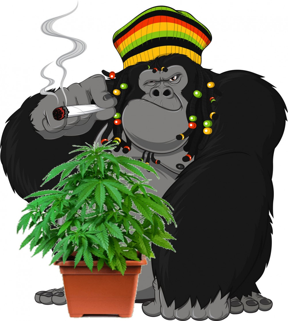 gorillacannabisgrow - What is Guerilla Cannabis Growing and How Do You Do It?