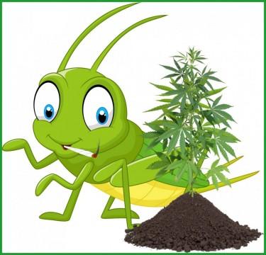 grasshoppers on my marijuana plants