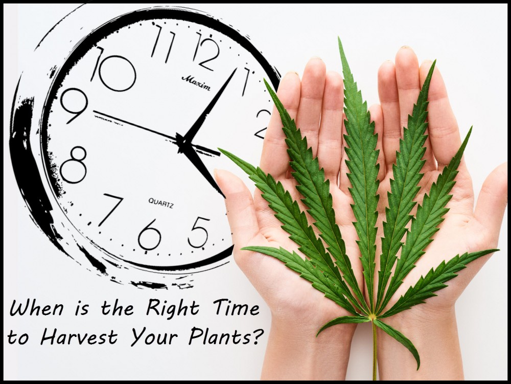 Top Signs That It's Time to Harvest Your Cannabis Plants