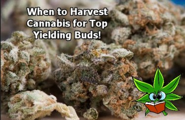 WHEN TO HARVEST CANNABIS BIG BUDS