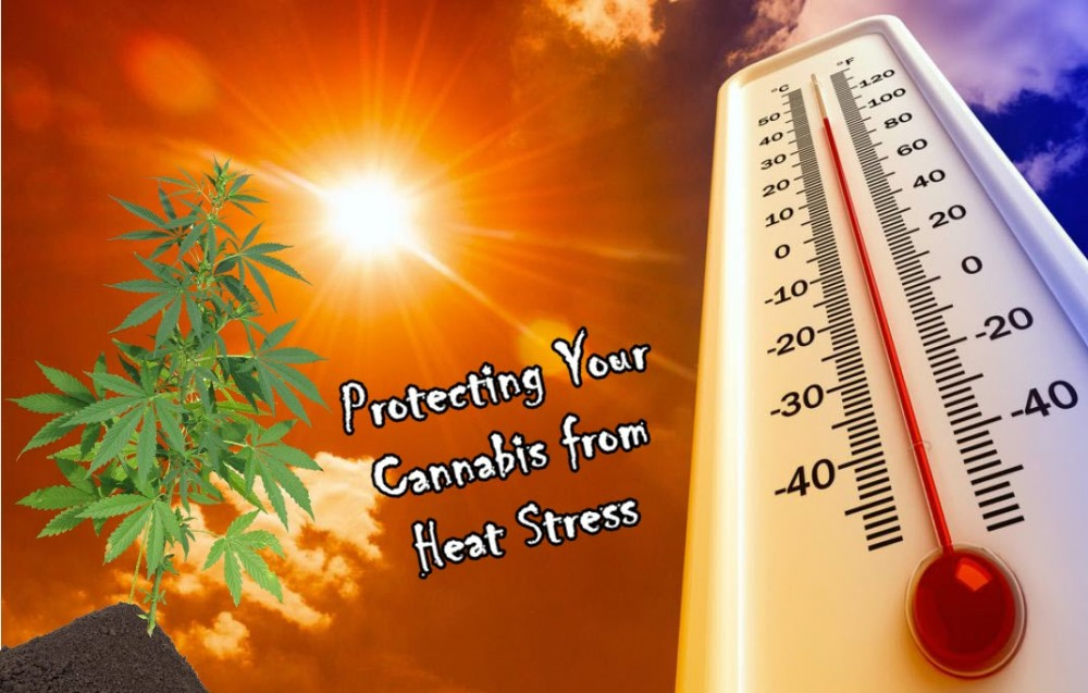 cannabis heat stress