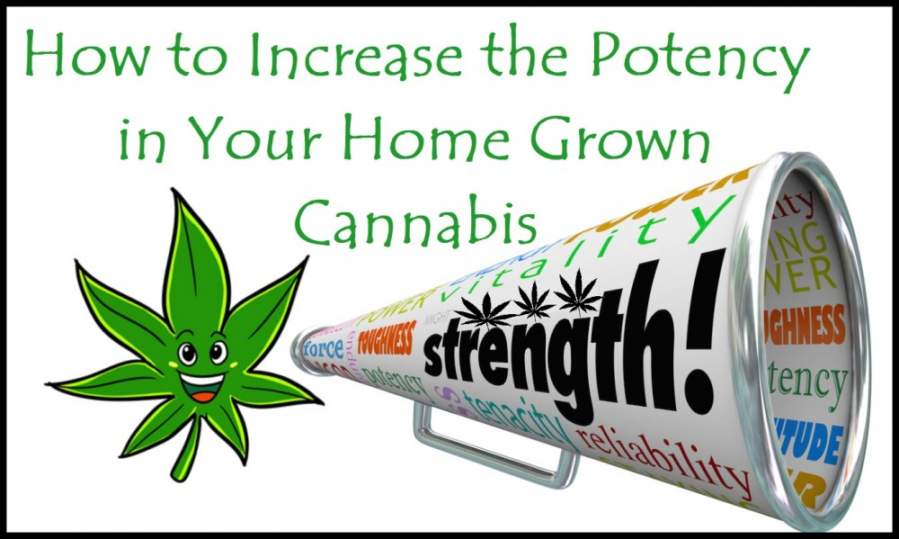 HOW TO INCREASE POTENCY IN CANNABIS BUDS