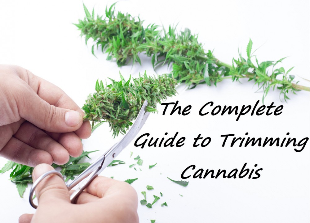 HOW DO YOU TRIM CANNABIS GUIDE