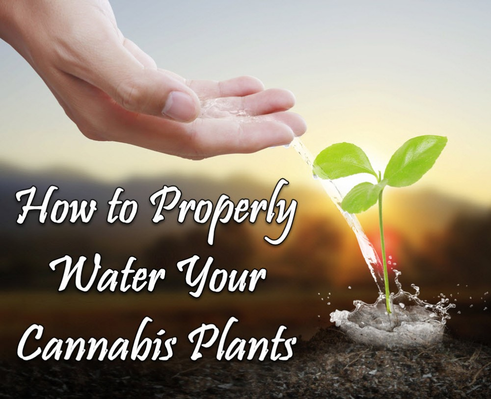 HOW DO YOU WATER A CANNABIS PLANT
