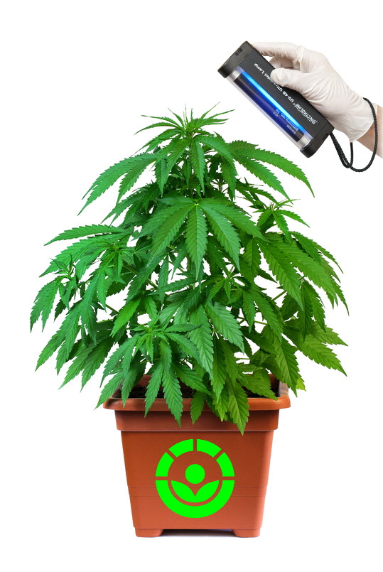 cannabis irradiation